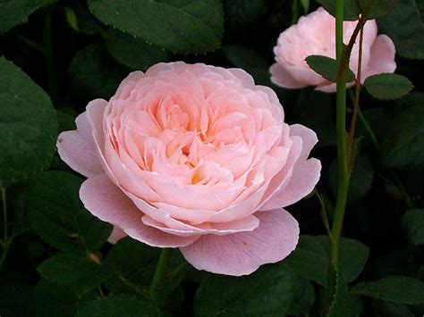 pink david roses top 32 ideas about david austin roses on pinterest gardens charlotte rose and yellow