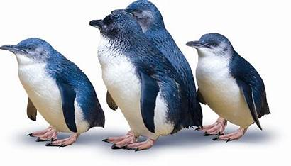 Penguins Nz Penguin Protected Email