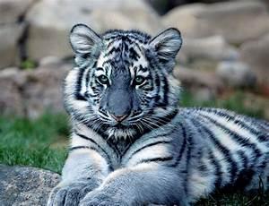 File:Maltese-Tiger.jpg - Wikimedia Commons