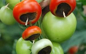 Tomaten Krankheiten Bilder : wenn tomaten faulen kraut r ben ~ Frokenaadalensverden.com Haus und Dekorationen