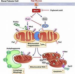Disruption Of Renal Tubular Mitochondrial Quality Control