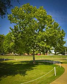 buy american sycamore trees the tree center
