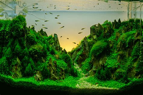 Betta Aquascape by How To Setup An Aquatic Plant Environment For Your Betta