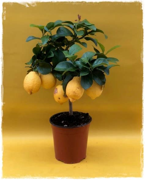 piante di limone in vaso limone citrus limon vendita piante