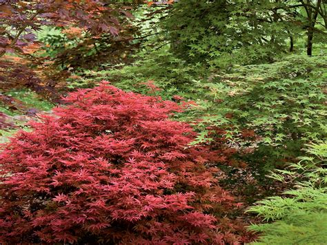 small japanese maple gardening 101 japanese maple trees southern living