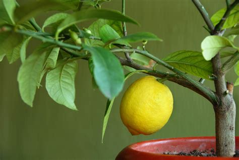 culture du citronnier en pot