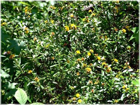 Hypericum Species, Shrubby St. Johns