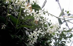 Jasmin Pflanze Winterhart : sternjasmin pflanze jasmin jaborosa jojoba pflanzen saatgut r hlemann 39 s kr uter und ~ Frokenaadalensverden.com Haus und Dekorationen