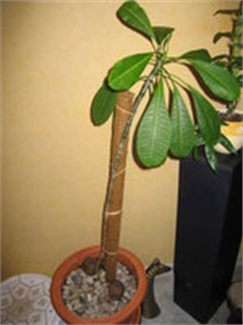 comment tailler le frangipanier forums plantes exotiques