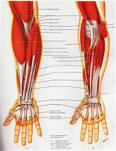 Diagram Arm Tendons Ligaments