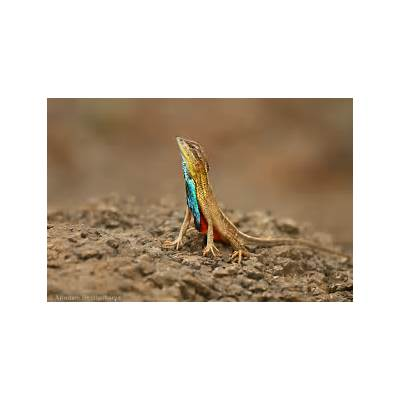 Fan Throated Lizard - Arindam Bhattacharya