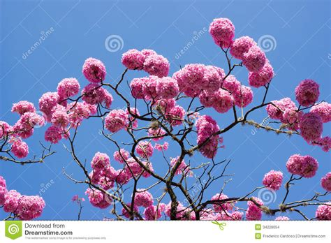 tree with pink flowers name pink trumpet tree and flower stock photo image 34228054