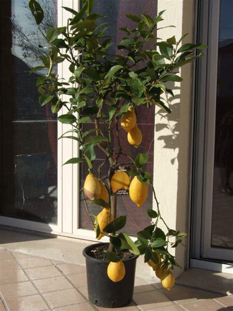 Limone In Vaso Cure by L Orto Di Ziatati Un Limone Bisognoso Di Cure Eco Eco