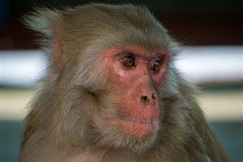 pictures kathmandu monkeys draft itinerary