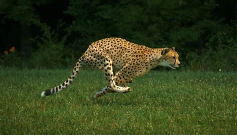 Jaguar Animal Running Wwwpixsharkcom Images