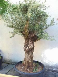 Olivenbaum Pflege Im Topf : olea europaea winterhart verzweigter uriger alter olivenbaum knorrige olive olea europaea ~ Buech-reservation.com Haus und Dekorationen