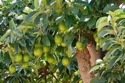 Avocado Tree Growing Transplanting Trees Grow Albero