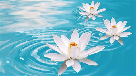 wallpaper lotus flower water  nature