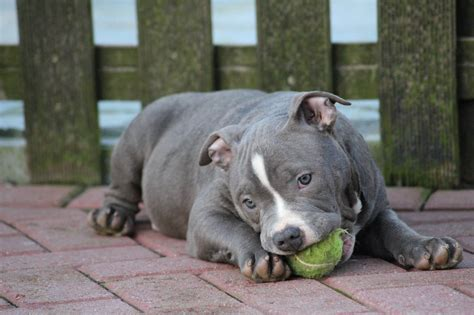 american bully puppies facts  truths