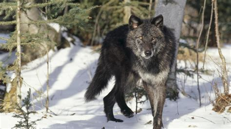 Wallpaper Black Wolf Background by Black Wolf Wallpapers High Quality Free