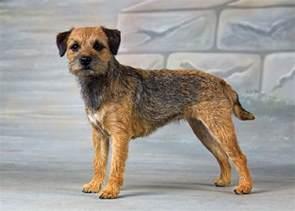 border terrier border terrier terrier and dog