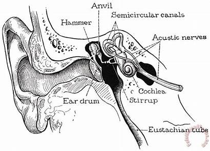 Ear Anatomy Canal Coloring Granger Photograph Painting