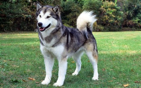 Do Huskies Or Malamutes Shed More by Alaskan Malamute Breed Information