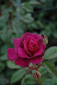 Intrigue Rose