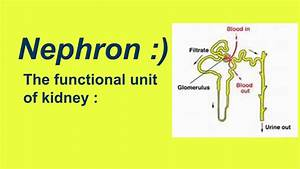 Nephron Structure And Function   Easy Learning
