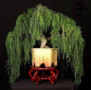 weeping bonsai Art of Bonsai Pinterest