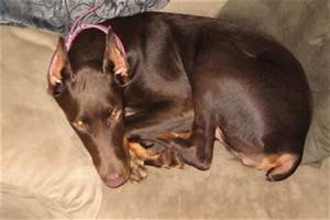 Baptist Ridge Dobermans : 8 Cool Warlock Doberman Puppies ...
