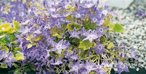 piante da fiore perenni resistenti al gelo piante perenni le variet 224 pi 249 resistenti al freddo
