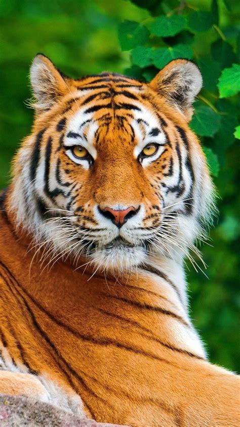tiger hd wallpaper  mobile gallery