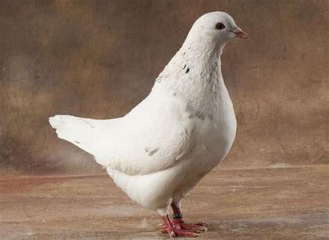 cuisiner pigeon variétés de pigeon à cuisiner