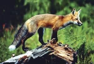 American Red Fox