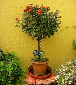 comment planter un rosier dans un pot comment planter un rosier en pot jardinage bio