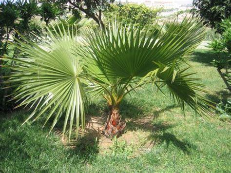 the 25 best ideas about palmier nain on engrais palmier d 233 corations de palmiers