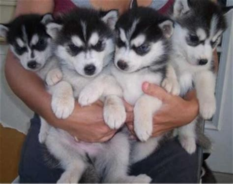 Gorgeous Lovely Siberian Husky Puppies For Adoption New York Brooklyn For Sale New York Brooklyn