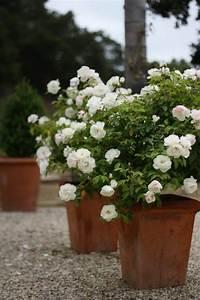 Rosen Im Topf Pflege : rosenr ckschnitt f r gesunde und bl hende rosen ~ Lizthompson.info Haus und Dekorationen