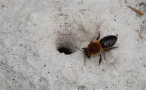 Bees and Wasps That Burrow in the Ground