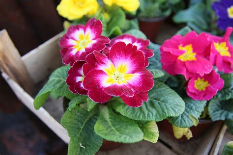fiore la rosa come curare le primule fito
