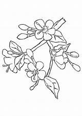Coloring Cherry Blossom Tree Mewarnai Sakura Japanese Bunga Gambar Flower Drawing Sketsa Flowers Template Blossoms Terbaru Putih Hitam Sketch Trees sketch template