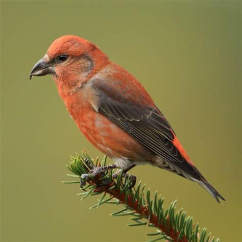 red crossbill birdforum opus