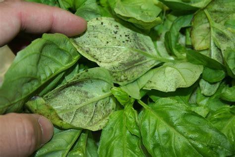 basil plant pests looking back at 2011 a recap texas plant disease diagnostic lab