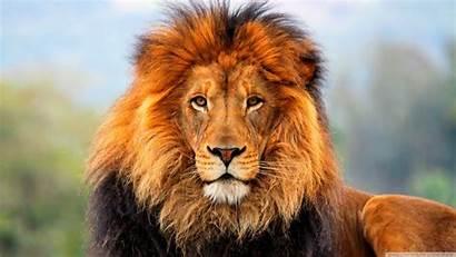 Lion Wallpapers Animal Lions Tiger Background Desktop