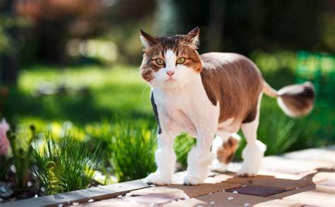 Kā iemācīt kaķi pastaigāties svaigā gaisā un atgriezties ...