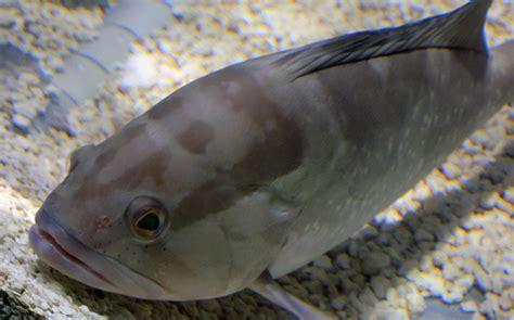 grouper fish animals goodfreephotos