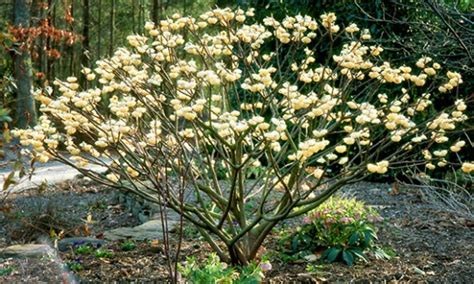 flowering winter shrubs black gold all the riches of the earthhome gardening