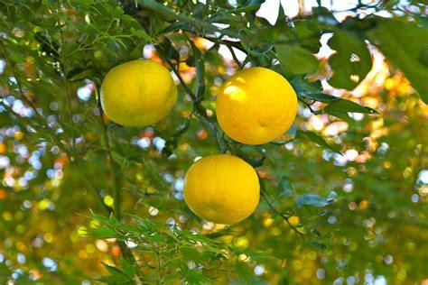 cuisine wiki citrus junos