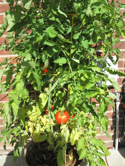 17 Best Images About Container Tomatoes On Pinterest
